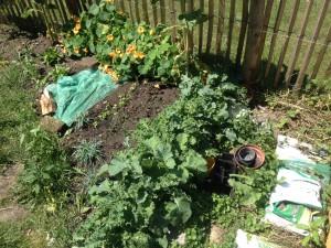 Grünkohljungpflanzen in Dichtsaat zur Vorzucht