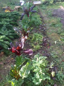 Mischkultur (v. l. n. r.): Mangold, Petersilienwurzeln und Rote Beete im Dezember 2015