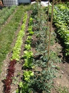 Reihenmischkultur Schnittsalat, Kopfsalat und Tomaten