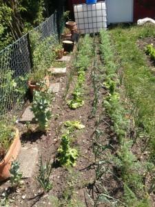 Reihenmischkultur Zwiebeln, Möhren, Porree und Romanasalat