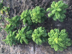 Zehn ausgelesene Grünkohlpflanzen im neuen Beet zur Saatgutgewinnung