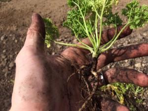 Detailansicht Petersilienpflanze mit Wurzeln und Blättern in Gärtnerhand