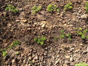 Zur Saatgutgewinnung ausgewählte Petersilienpflanzen eingepflanzt und angegossen