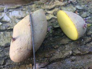 Teilen von Pflanzkartoffel in 3 Teile mit Messer