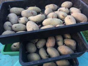 Vorkekeimte Kartoffeln in Pflanzschalen