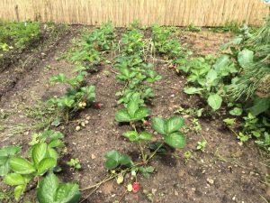 Erdbeerpflanzen in Mischkultur mit Knoblauch