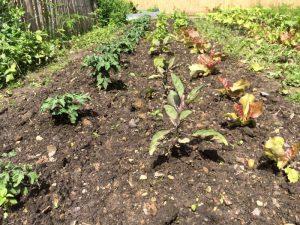 Tomate Minibel (links), Aubergine Blaukönigin (vorne Mitte), Paprika Albaregia (Mitte hinten), Pflücksalat Amerikanischer Brauner (vorne rechts) und Romanasalat Little Gem (hinten rechts)