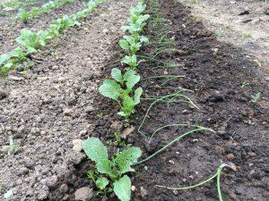 Zwiebelpflanzen nach der Pflanzung in Mischkultur mit Radieschen und Möhren