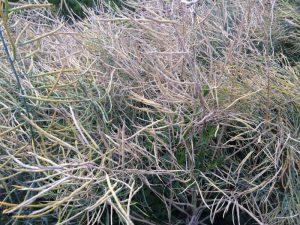 Abreife der Samenschoten des Grünkohls Mitte Juli