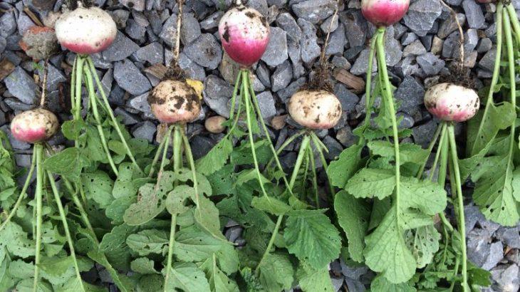 Ausgewählte Saatgutträger der Radieschen