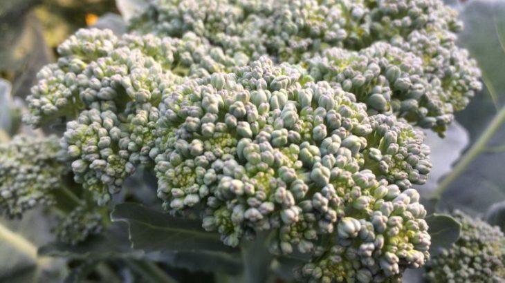 Brokkoli Nahaufnahme Mitte Juli