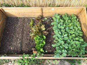 Frühbeet mit diversen Salaten, Winterblumen- und Grünkohl Mitte Juli