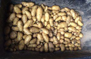 Geerntete Kartoffeln (22 kg) der Sorte 'Annabelle'