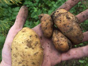 Gesunde (l.) und faule (r.) Kartoffeln der Sorte Annabelle