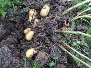 Kartoffeln 'Annabelle' bei der Ernte