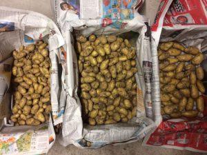 Kartoffeln nach Größe sortiert zur Einlagerung