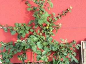 Roter Berlepsch als Spalier, Mitte Juli