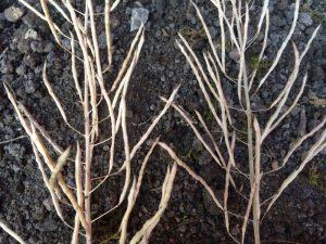Samenschoten des Haupttriebs (l.) und Samenschoten eines Nebentriebs (r.) des Grünkohls