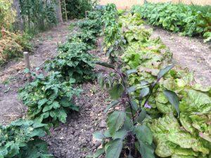 Tomaten, Auberginen, Paprika und Salate Mitte Juli
