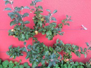 Apfelspalier roter Berlepsch Ende August
