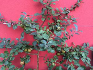 Apfelspalier roter Boskoop Ende August