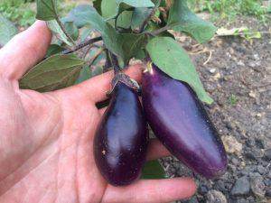 Früchte Aubergine Blaukönigin