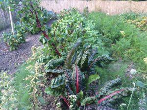 Mangold (vorne, Mitte), Gemüsefenchel (vorne links und rechts), rote und Streifenbete (hinten, Mitte) und Buschbohnen (hinten, rechts und links)