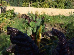 Mangold (v.) Gemüsefenchel (l.) und rote Bete (h.)