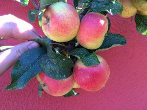 Reife Äpfel roter Berlepsch