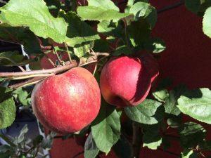 Reife Äpfel roter Boskoop