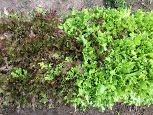 Schnittsalat red und green salat bowl