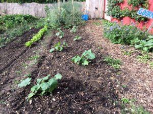 Ölzucchini und Gurken (vorne) und Saatgutgewinnung von Purple Sprouting Brokkoli
