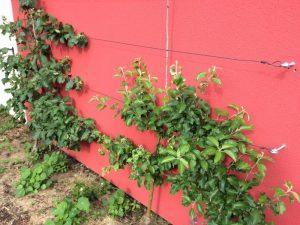 Apfelspaliere roter Boskoop und roter Berlepsch