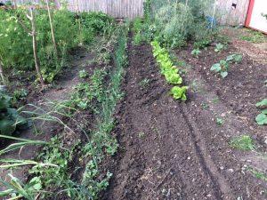 Knoblauch, Zwiebeln Möhren, Dicke Bohnen als Überwinterungskulturen (hinten) und Salat (vorne)