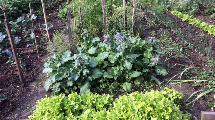 Schnittsalat, Borretsch, Saatgewinnung Kopfsalat, Saatgutgewinnung Möhre Nantaise und Erdbeeren (von vorne nach hinten)